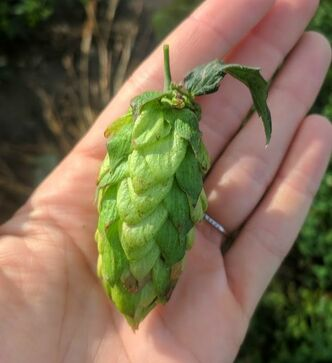 Mackinac Hops, Iowa hops